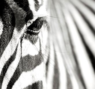 Motiv 03 Zebra Links
